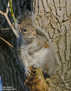 Napoleon Squirrel