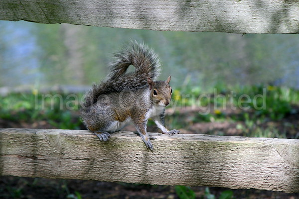 Squirrel on Fence - 8/2/07
