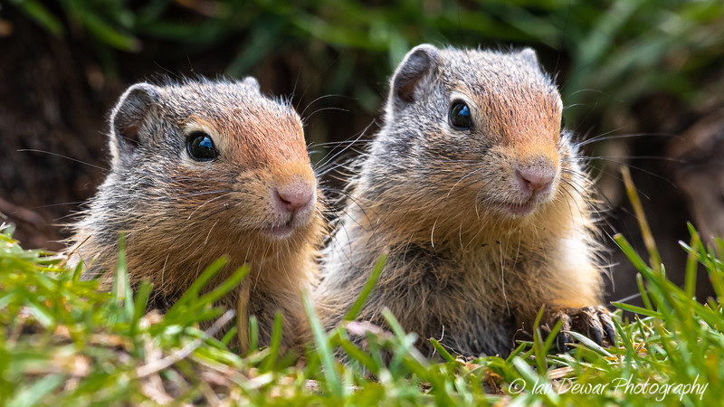 Pair of young Columbian Ground Squirrels