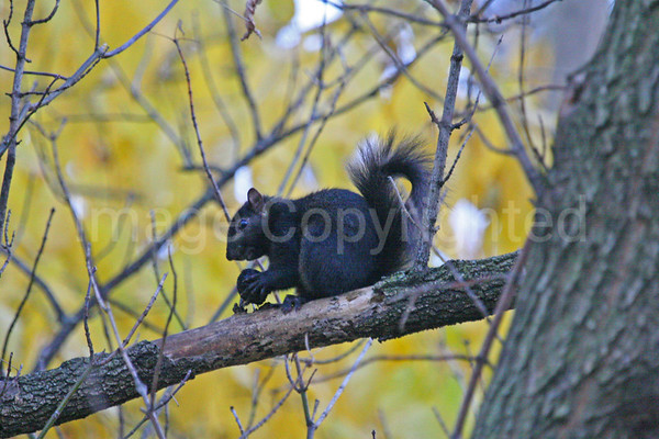 Black Squirrel - 1/1/10