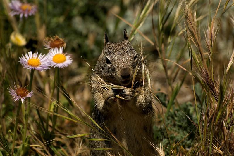 Beechey Ground Squirrel