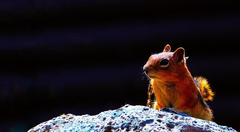 Golden Mantled Ground Squirrel