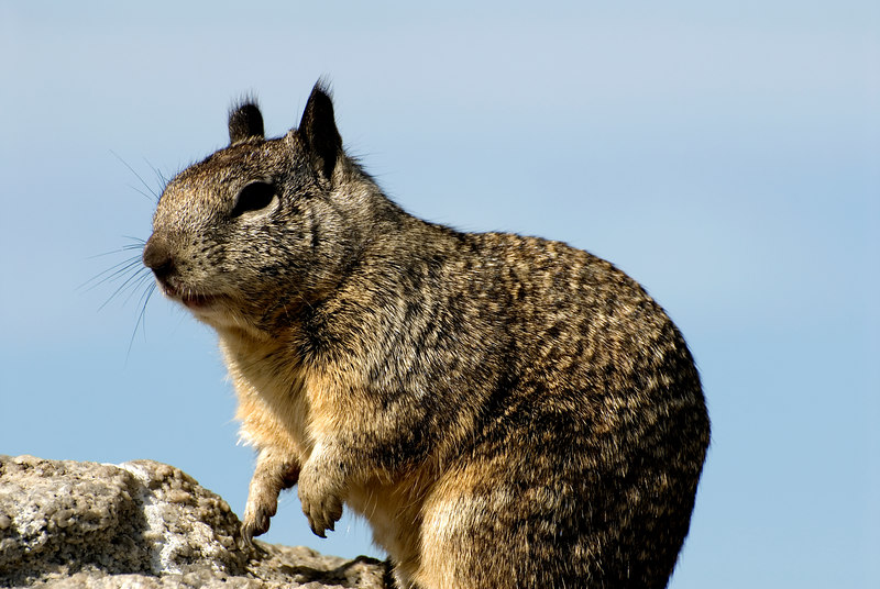 Beechey Ground Squirrel