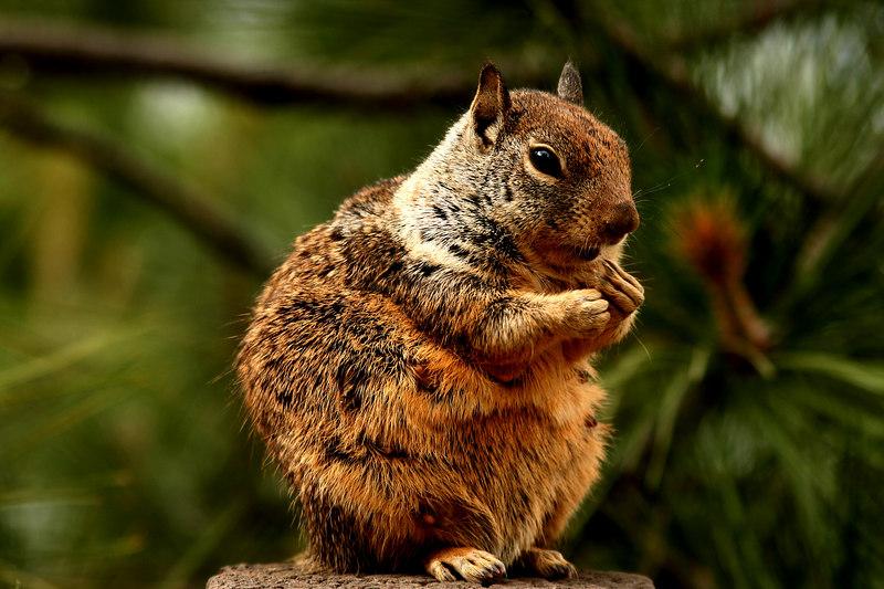 Female California Ground Squirrel