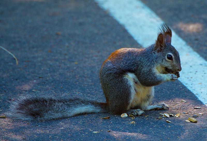 Albert's Squirrel
