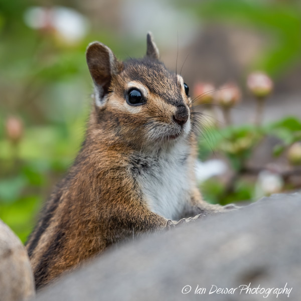 Chipmunk cautious watch