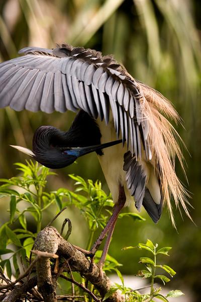 Tri-colored heron preening