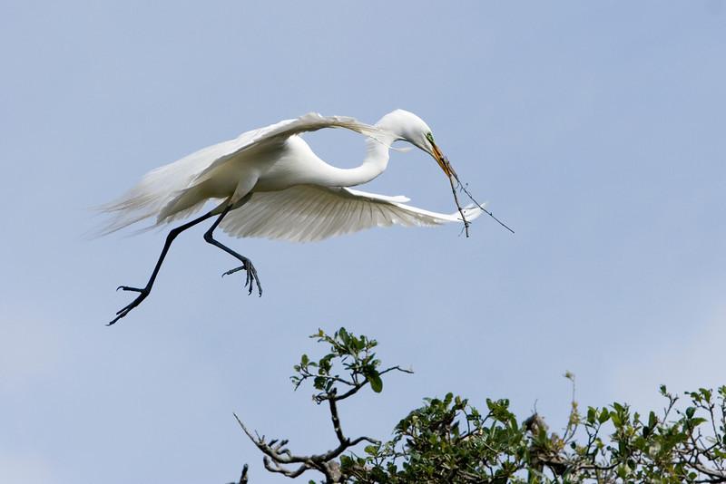 Great Egret building a nest