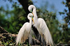 Egrets in love