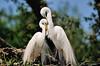 Egrets in love