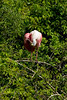 Roseate Spoonbill preening