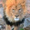 Ingozi, the male lion