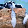 Colobus Monkeys napping