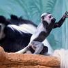 The new Colobus Monkey, born 14 Jan 2014