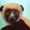 Coquerel's Sifaka (Lemur)