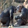 Chimps sharing breakfast