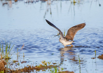 GreaterYellowlegs011720b
