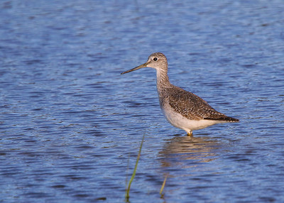 GreaterYellowlegs011720a