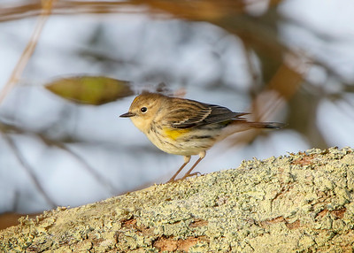 YellowRumpedWarbler011820b