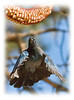 A stellar's jay goes for the golden peanut.