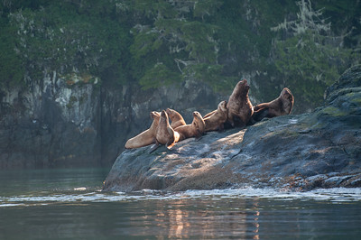 Steller sea lions basking in the light.