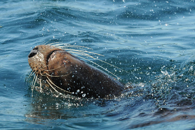 Jackie Hildering photo-4518 - Steller sea lion male - note long vibrissae (whiskers).