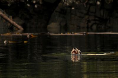 2010_DSC_6078 - Steller sea lion