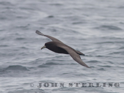 White-chinned Petrel off San Mateo