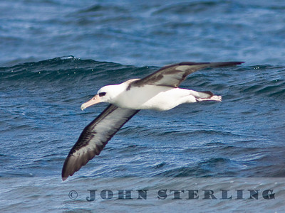 Layson Albatross