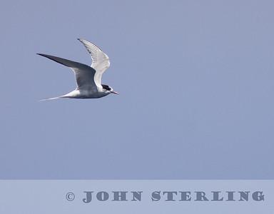 Sterling's California Pelagic Wildlife