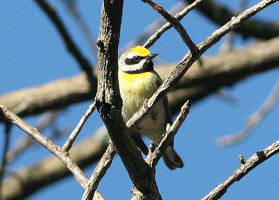 Golden-winged X Blue-winged Warbler