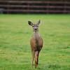 A small mule deer doe running towards the photographer<br /> <br /> Professional Wildlife Photography by Christina Craft of the Nature Stock Photography Library