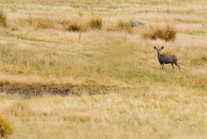 A lone deer in a dry meadow in autumn