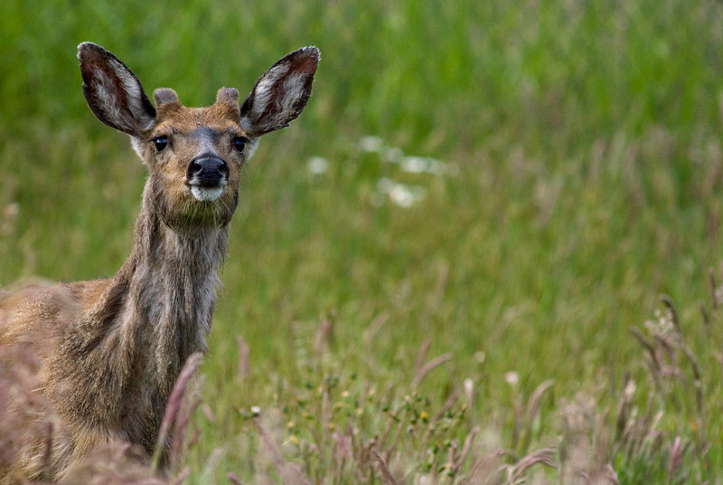Mule deer in a meadow / field <br /> <br /> Professional Wildlife Photography by Christina Craft of the Nature Stock Photography Library
