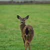 Mule deer - wild animal picture<br /> <br /> Professional Wildlife Photography by Christina Craft of the Nature Stock Photography Library