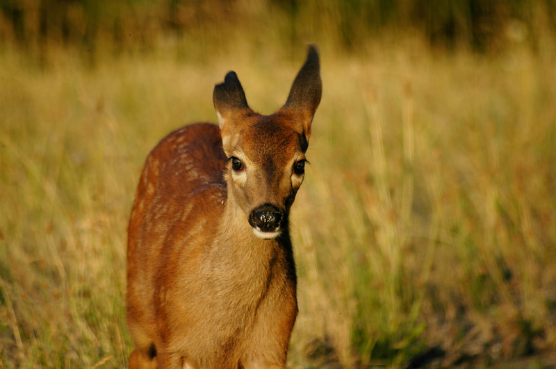 A small deer fawn at dusk or dawn<br /> <br /> Professional Wildlife Photography by Christina Craft of the Nature Stock Photography Library