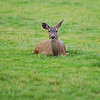 Mule deer sleeping or sitting <br /> <br /> Professional Wildlife Photography by Christina Craft of the Nature Stock Photography Library