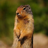 Squirrel - columbian ground squirrel closeup Rocky Mountain landscape mountains scenic landscape - Photograph by professional nature stock photographer Christina Craft