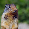 Closeup of a columbian ground squirrel - Rocky Mountain landscape mountains scenic landscape - Photograph by professional nature stock photographer Christina Craft