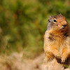 Columbian ground squirrel  - Nature Stock Image by Professional Nature Photographer Christina Craft
