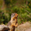 Columbian Ground squirrel in the rocky mountains - Rocky Mountain landscape mountains scenic landscape - Photograph by professional nature stock photographer Christina Craft