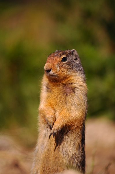 Columbian ground squirrel - Rocky Mountain landscape mountains scenic landscape - Photograph by professional nature stock photographer Christina Craft