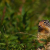 Columbian ground squirrel a rodent that lives in the rockies. Rocky Mountain landscape mountains scenic landscape - Photograph by professional nature stock photographer Christina Craft