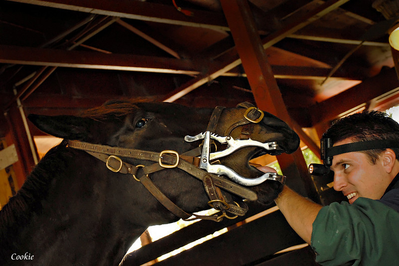 AVet and horse dentst checks horses mouth with head lamp