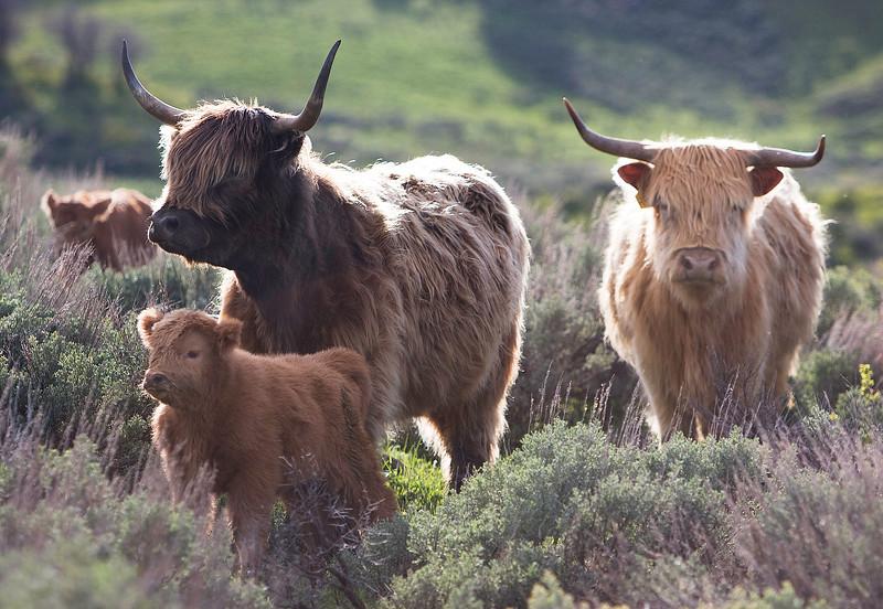 Adults & calf #2