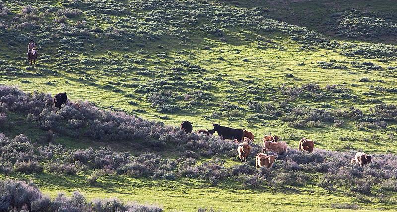 Bucky guiding the herd