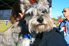 Sasha rests on her owner's shoulder during this year's Strut Your Mutt.