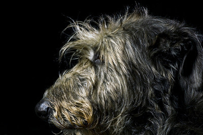 Sue's DeerHound