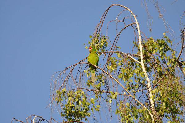 Sunnyvale Parrots