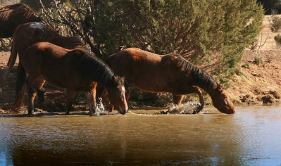 Remembering life as a horse again.  The West Texas 25 herd enjoy's the pond in their rehab pasture.